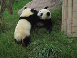 The Giant Panda Breeding and Research Centre (Chengdu)