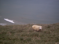 A sheep at the ocean.  A sheep we encountered while tramping through farmland to see Sealions and Yellow-eyed penguins.