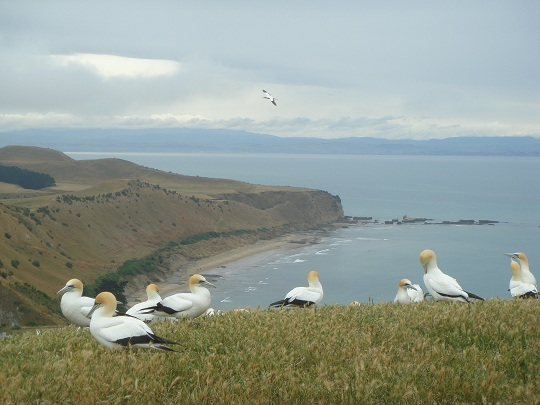 Cape Kidnappers - the Gannet Colony
